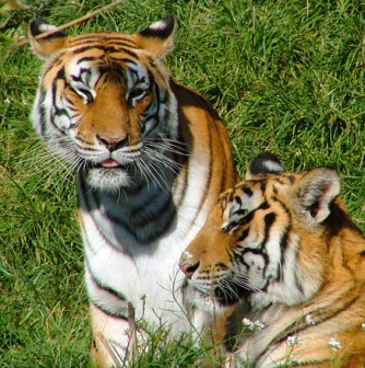 two-tigers-1387062
